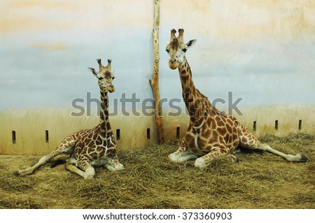 PRAGUE, CZECH REPUBLIC - FEBRUARY 18, 2012: A photograph of giraffes in their winter enclosure at the zoo in Prague, Czech Republic, Feb.18, 2012.