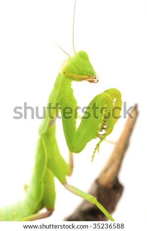 Praying green Mantis close up