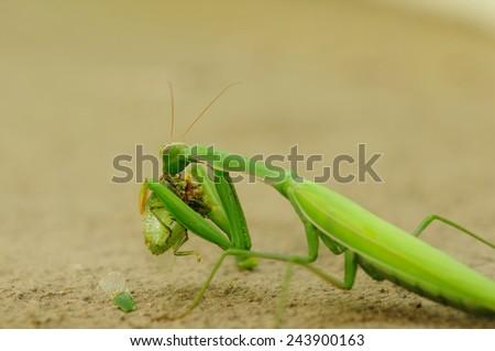 Praying mantis eating, sitting on sand 3