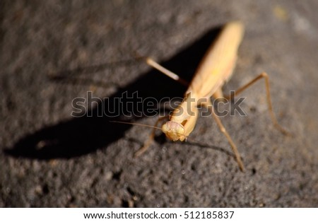 Praying mantis with its shade on rock