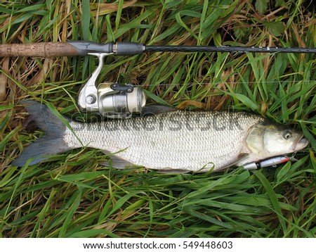 Underwater Close Photography Freshwater Roach Fish Stock ...