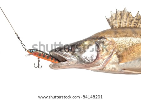 predatory fish pike-perch taking the bite on white background