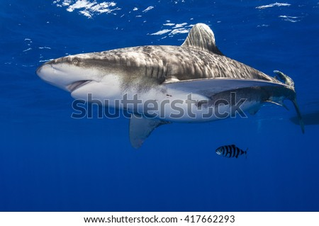 Pregnant oceanic whitetip shark off Cat Island in the Bahamas with pilot fish.