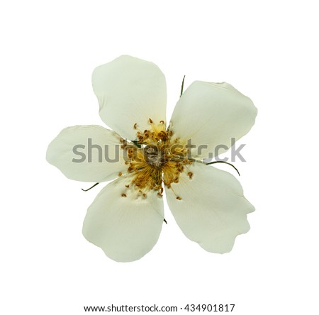 Pressed and dried white delicate transparent flower wild rose. Isolated on white background.For use in scrapbooking, floristry (oshibana) or herbarium.