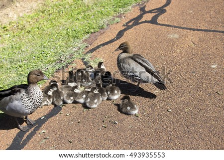 Pretty  elusive shy brown Australian wood ducklings chenonetta jubata and parents  sitting on a cycleway after eating grass  in Big Swamp, Bunbury,Western Australia on a sunny afternoon  in  spring.