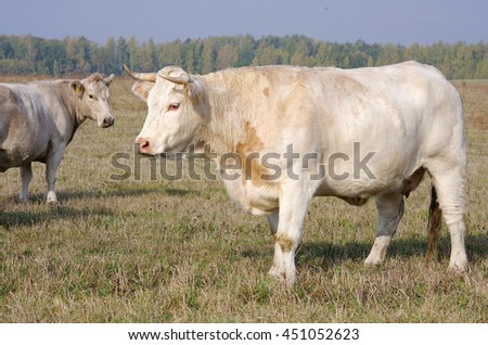 Profile of a large white Charolais beef cow standing sideways looking at the camera in a pasture