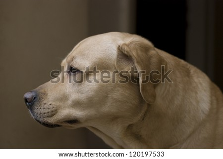 Profile of a thoughtful intelligent labrador