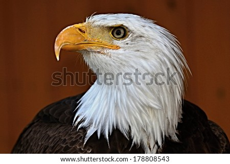 Profile portrait of a bald eagle  haliaeetus leucocephalus