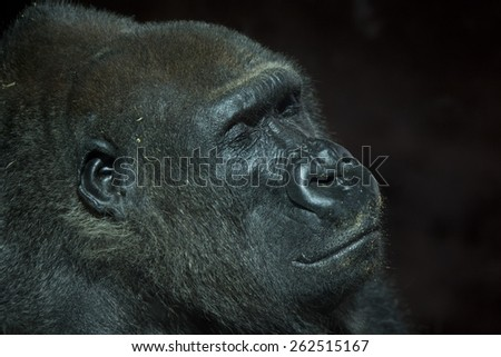 Profile shot of a peaceful resting but critically endangered old male mountain gorilla smiling serenely with eyes closed against a dark background
