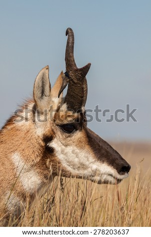 Pronghorn Antelope Buck With Odd Horn