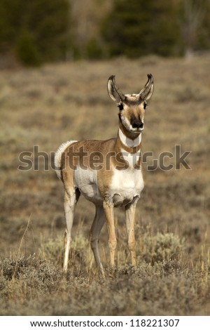 Pronghorn Antelope front view