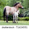 Przewalski's Horse Mare and Foal - stock photo