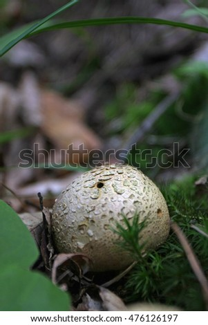 Puffball on forest floor
