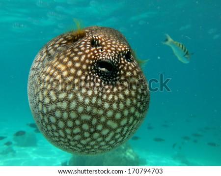 giant puffer fish puffed up - photo #28