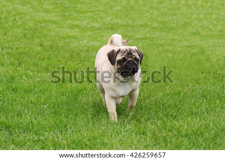 Pug dog standing of soft green grass background. Popular dog breed