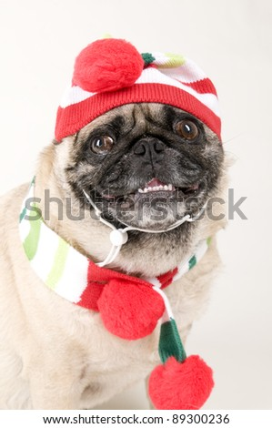 Pug Dressed up for Christmas with Funny Expression.