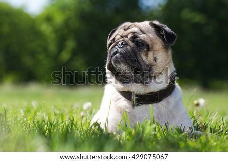 Pug is lying on the green grass in the park.