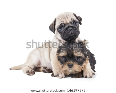 Pug puppies and Yorkshire Terrier