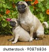 Pug Puppy and Mother - stock photo