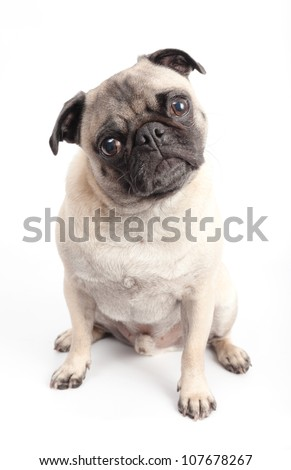 Pug Puppy Sitting on White Background