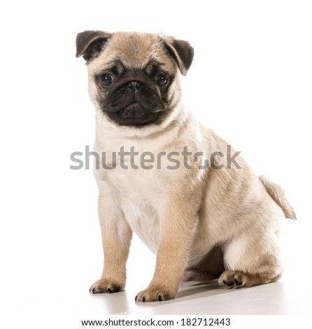 Two Pug Dogs Wearing Cute Birthday Stock Photo 38094589