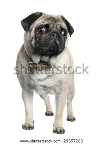 pug (2 years old) in front of a white background