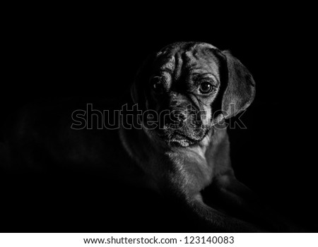 Puggle in Low Light on Black Background