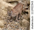 Puma on Rock Crouching Ready to Pounce Felis Concolor - stock photo