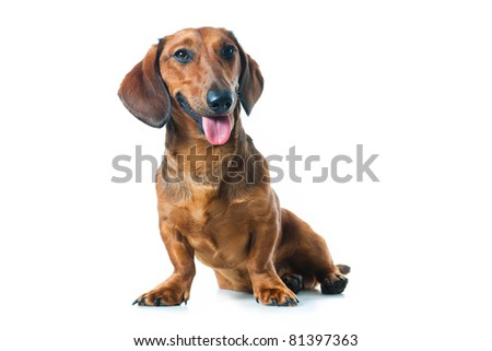 Puppy dachshund isolated on white background