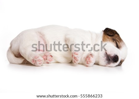 Puppy Dog Jack Russell Terrier sleeping (isolated on white)