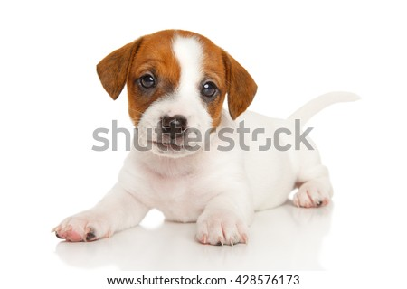 Puppy Jack Russell in front of a white background