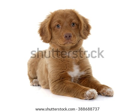 puppy Nova Scotia Duck Tolling Retriever in studio