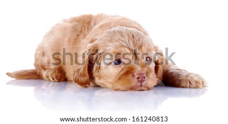 Puppy of a decorative doggie. Decorative dog. Puppy of the Petersburg orchid on a white background