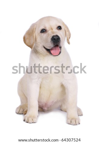Puppy of a labrador isolated on a white background.