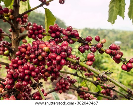 pure red bunch of coffee seeds in a plantation almost nearing harvesting.