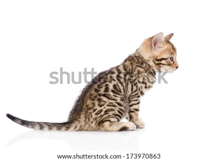purebred bengal kitten sitting in profile. isolated on white background