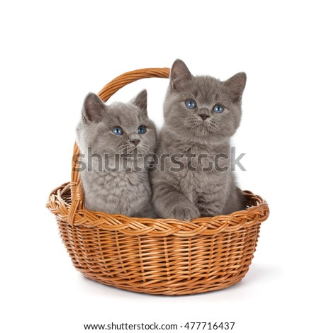 Purebred British Shorthair Blue Kitten in the basket isolated on white. Two young BRI Cats with blue eyes.