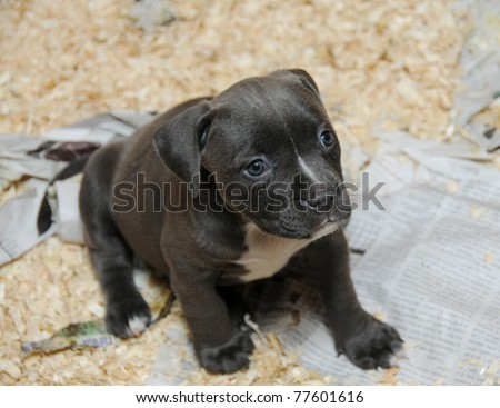 purebred canine american bully puppy in whelping litter box sitting looking away razors edge breed