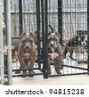 Purebred Canine Blue Nose American Bully Puppies in Kennel Looking at Camera - stock photo