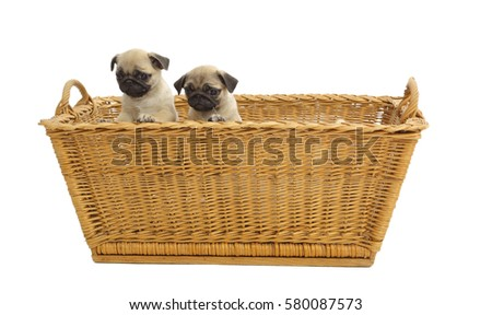 Jack Russel Terrier Puppies Basket Isolated Stock Photo ...