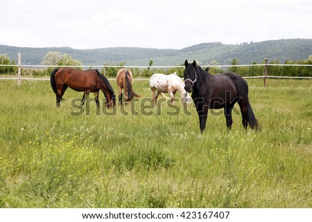 Purebred horses graze the fresh green grass on beautiful meadow.rural scene