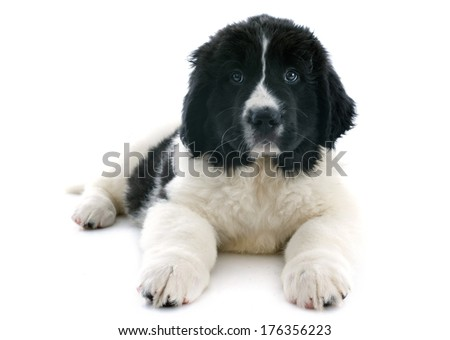 purebred puppy landseer in front of white background