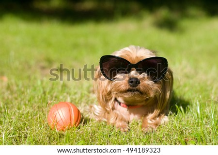 Purebred yorkshire terrier outdoor portrait with red toy ball with sunglasses