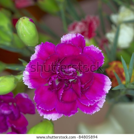 purple carnation flower closeup