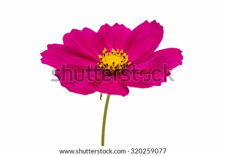 Purple cosmos flower on a white background