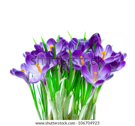 Purple crocus isolated on white background