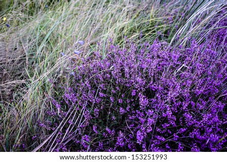 Purple heather field in natural surroundings