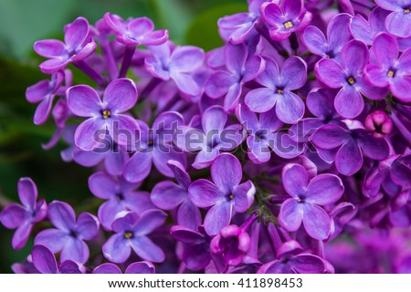 Purple lilac flowers. Macro photography.