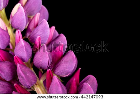 Purple lupin on a black background