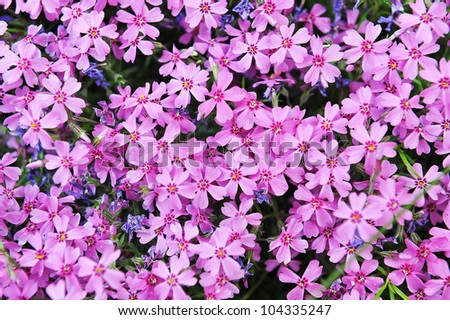 purple phlox subulata small flowers bloom stock photo 104941427 shutterstock. Black Bedroom Furniture Sets. Home Design Ideas